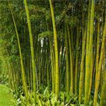 Bambusy, bambusy na živé ploty