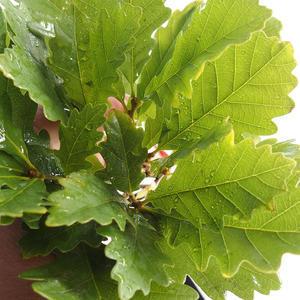 Venkovní bonsai-Quercus suber-Korkový dub