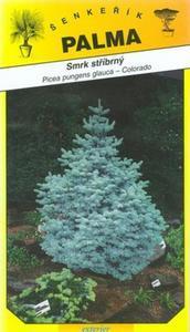 Smrek strieborný - Picea pungenc glauca