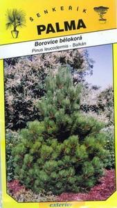 Borovice bělokorá - Pinus leucodermis