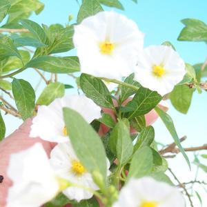 Pokojová bonsai - Solanum rantonnetii - Hořcový stromek