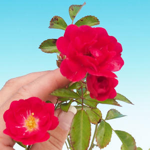 Rosa Rote The Fairy - parviforum red roses