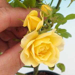 Rosa Yelow - parviforum yellow roses