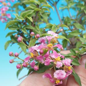 Pokojová bonsai - Malpighia coccigera- Barbdorská třešeň