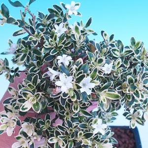 Pokojová bonsai - Serissa foetida - Strom tisíce hvězd PB2191283