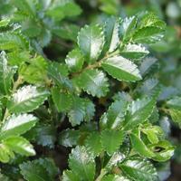 Pokojový jilm - Ulmus parvifolia