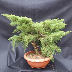 Jalovec - Juniperus sabina NO-11