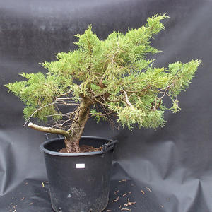 Jalovec - Juniperus sabina NO-12