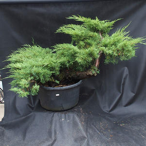 Jalovec - Juniperus sabina NO-19