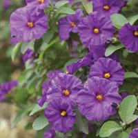 Hořcový stromek - Solanum rantonnetii