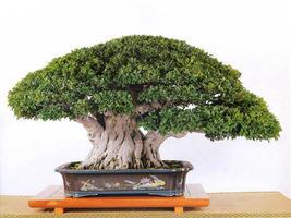 Fíkusy - Ficus retusa, kimmen , panda