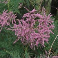 Tamaris parviflora