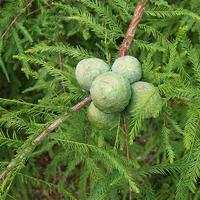 Tisovec - Taxodium, metasequoia