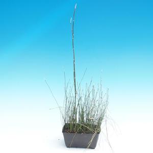 Přeslička - Equlsetum Japonicem