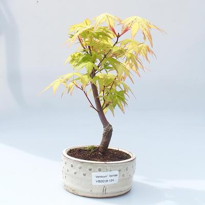 Vonkajšie bonsai - Acer pal. Sango Kaku - Javor dlaňolistý