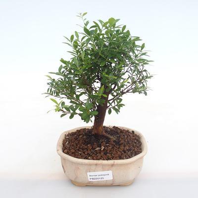 Pokojová bonsai - Syzygium - Pimentovník PB220125 - 1