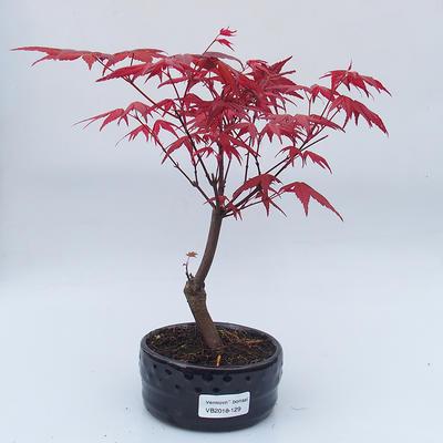 Venkovní bonsai - Javor dlanitolistý - Acer palmatum DESHOJO - 1