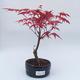 Venkovní bonsai - Javor dlanitolistý - Acer palmatum DESHOJO - 1/2