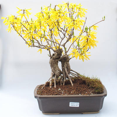 Venkovní bonsai - Zlatice - Forsythia intermedia Week End - 1