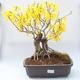Venkovní bonsai - Zlatice - Forsythia intermedia Week End - 1/3