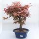 Venkovní bonsai - Javor dlanitolistý - Acer palmatum DESHOJO - 1/3