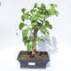 Venkovní bonsai - Jinan dvoulaločný - Ginkgo biloba - 1/4