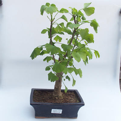 Venkovní bonsai - Jinan dvoulaločný - Ginkgo biloba - 1