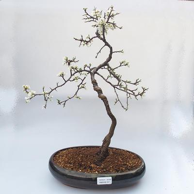 Venkovní bonsai - trnka obecná - Prunus spinosa