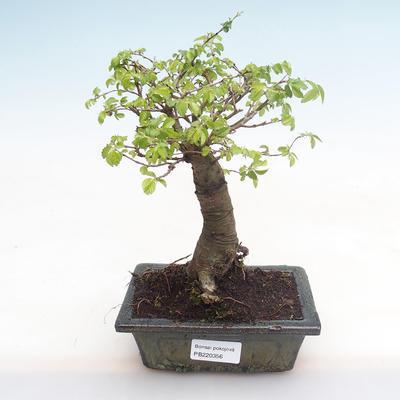 Pokojová bonsai-Ulmus Parvifolia-Malolistý jilm PB220356