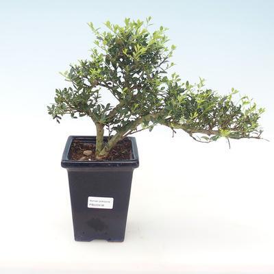 Pokojová bonsai - Ilex crenata - Cesmína PB220438
