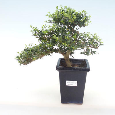 Pokojová bonsai - Ilex crenata - Cesmína PB220442