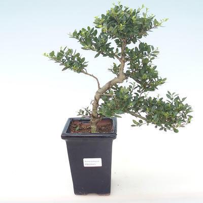 Pokojová bonsai - Ilex crenata - Cesmína PB220443