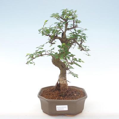 Pokojová bonsai - Ulmus parvifolia - Malolistý jilm PB220445 - 1