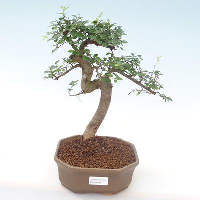 Pokojová bonsai - Ulmus parvifolia - Malolistý jilm PB220447 - 1