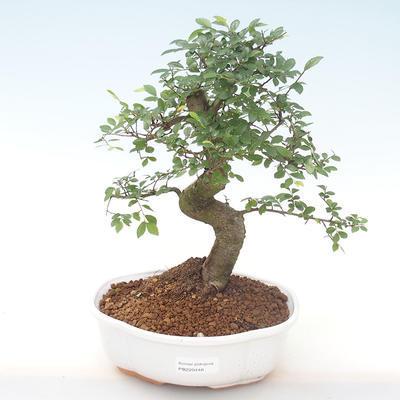 Pokojová bonsai - Ulmus parvifolia - Malolistý jilm PB220448 - 1