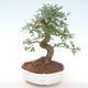 Pokojová bonsai - Ulmus parvifolia - Malolistý jilm PB220448 - 1/3