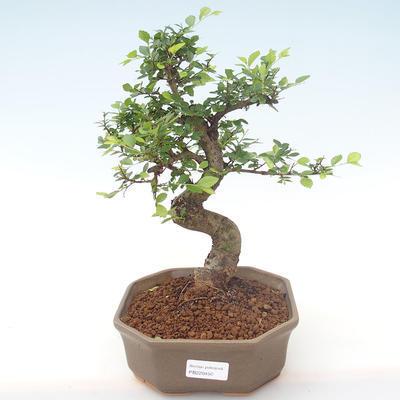 Pokojová bonsai - Ulmus parvifolia - Malolistý jilm PB220450 - 1