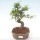 Pokojová bonsai - Ulmus parvifolia - Malolistý jilm PB220450 - 1/3