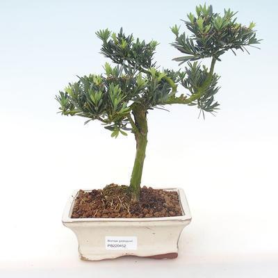 Pokojová bonsai - Podocarpus - Kamenný tis PB220452