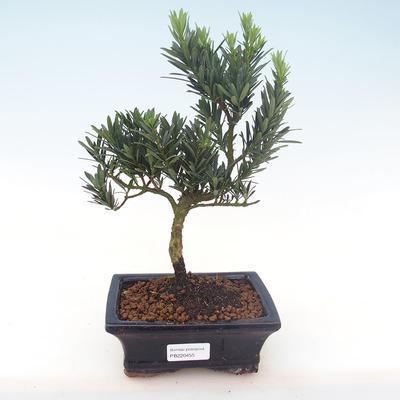 Pokojová bonsai - Podocarpus - Kamenný tis PB220455