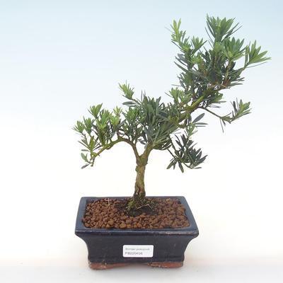 Pokojová bonsai - Podocarpus - Kamenný tis PB220456