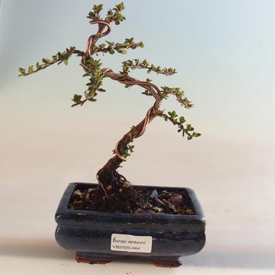 Pokojová bonsai - Cuphea - Japonská myrta PB220464