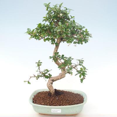 Pokojová bonsai - Carmona macrophylla - Čaj fuki PB220465 - 1