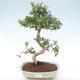 Pokojová bonsai - Carmona macrophylla - Čaj fuki PB220465 - 1/5