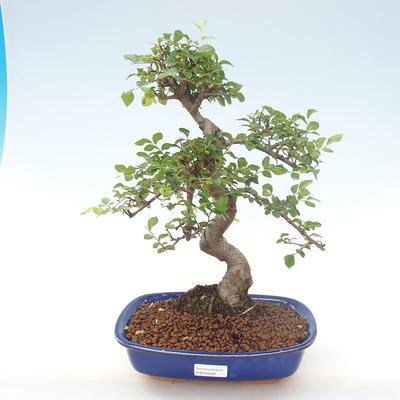 Pokojová bonsai - Ulmus parvifolia - Malolistý jilm PB220468 - 1