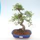 Pokojová bonsai - Ulmus parvifolia - Malolistý jilm PB220468 - 1/3