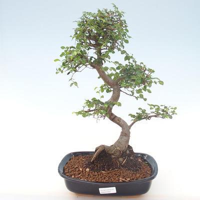 Pokojová bonsai - Ulmus parvifolia - Malolistý jilm PB220469 - 1