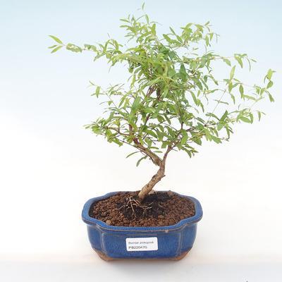 Pokojová bonsai-PUNICA granatum nana-Granátové jablko PB220470 - 1