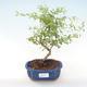 Pokojová bonsai-PUNICA granatum nana-Granátové jablko PB220470 - 1/3