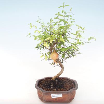 Pokojová bonsai-PUNICA granatum nana-Granátové jablko PB220471 - 1